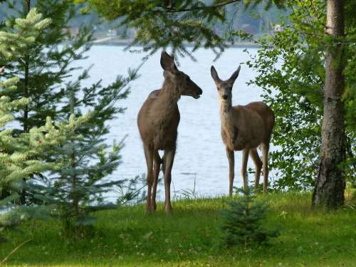 Deer Animals Mammal Watching Beware Attention