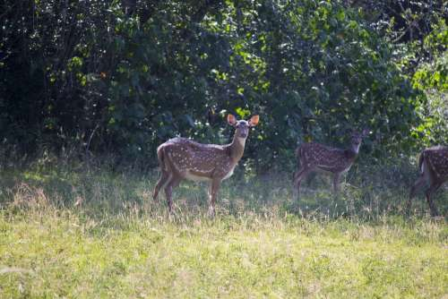 Deer Mammal Brown Wildlife Animals Nature