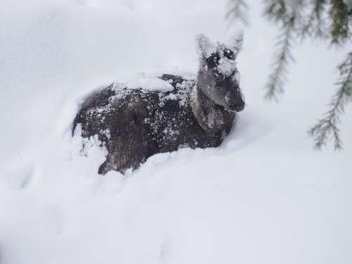 Deer Animal Winter Snow Snow Scene Finland