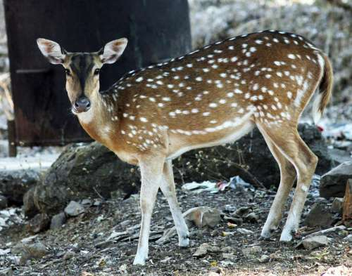 Deer Mammal Wildlife Animal Nature Wild Dots