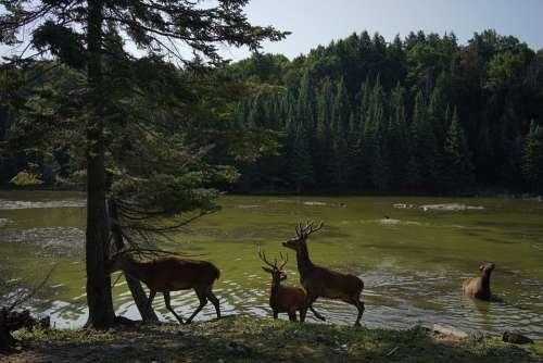 Deer Nature Wildlife Animal Mammal Natural Season