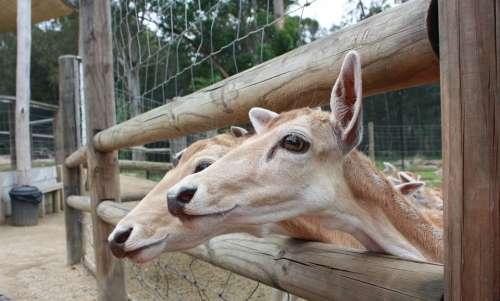 Deer Animals Friends Nature Zoo Wildlife