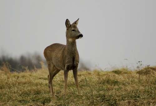 Deer Spring Nature Animals Meadow Grass