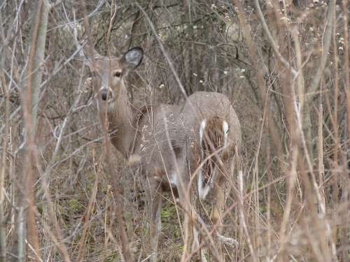 Deer Wood White Tailed Animal Nature Curious