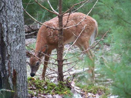 Deer Fawn Fawns Baby Deer Woods Forest Nature