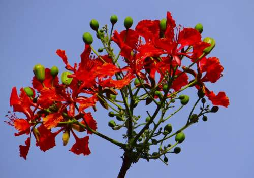Delonix Regia Fabaceae Royal Poinciana Flame Tree