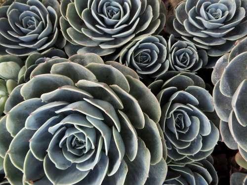 Desert Plant Cactus Gross Green