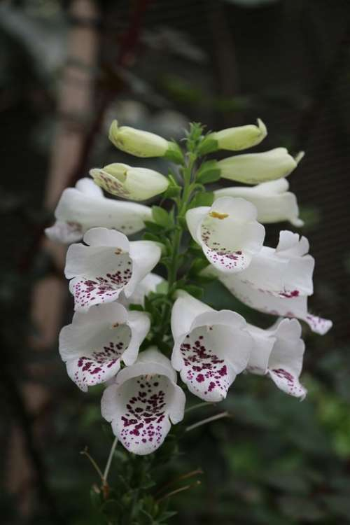 Digitalis White Flower Nature Spring Floral Plant