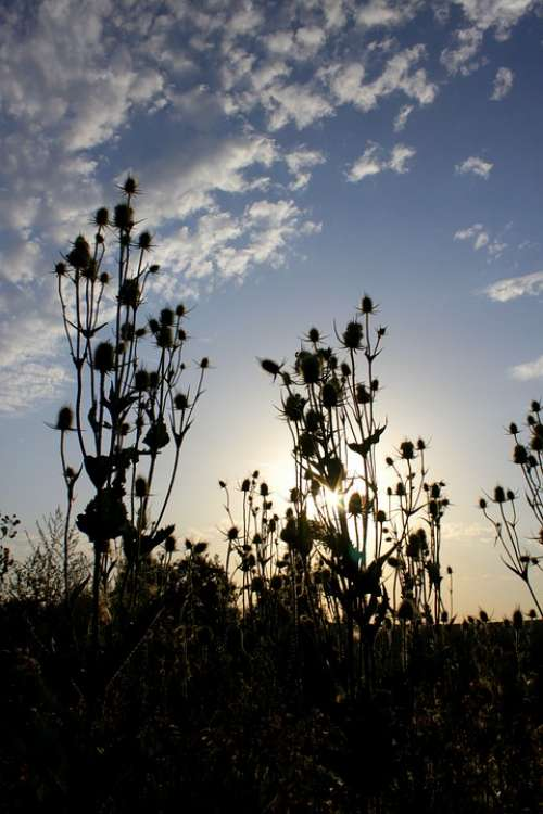 Dipsacus Laciniatus Light Rays Sun Teasle Thistle