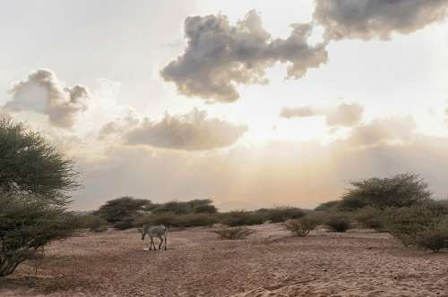 Djibouti Zebra Animal Wildlife Sky Clouds
