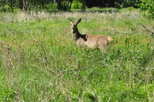 Doe Summer Green Grass Animal