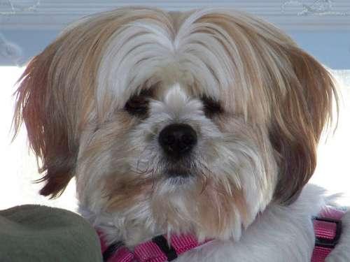 Dog Pet Animal Fluffy Fur Head Face