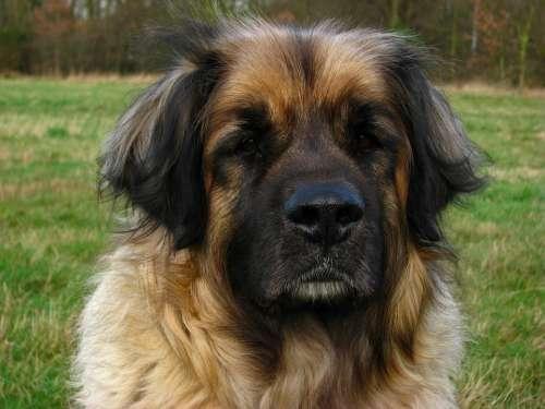 Dog Leonberger Animal Canine Pet Big Head