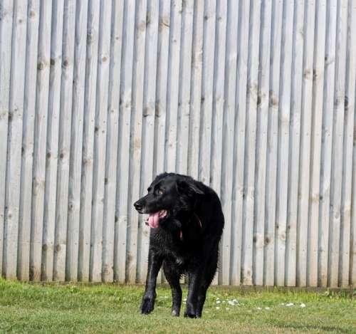 Dog Black Labrador Standing Grass Green Pet