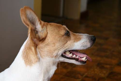 Dog Profile Jack Russell White And Tan