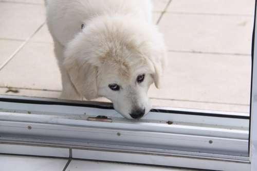 Dog White Berger Play