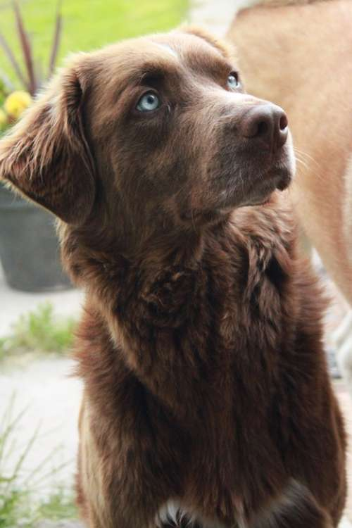 Dog Canine Brown Brown Dog Blue Eyes Domestic