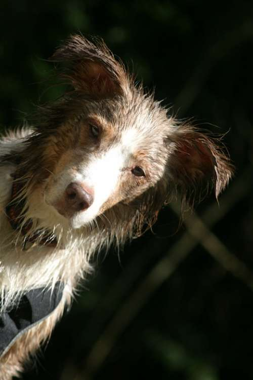 Dog Pet Australian Shepherd Wet Portrait Head