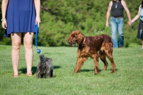 Dog Dogs People Woman Man Irish Setter Red Setter