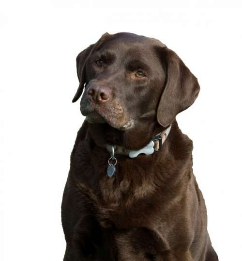 Dog Labrador Chocolate Brown Isolated White