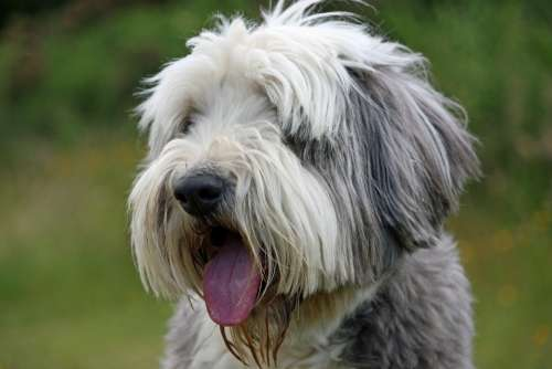 Dog Bearded Collie Collie Beautiful Animal Face