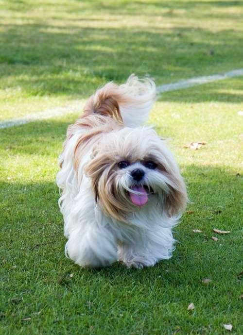 Dog Shih Tzu Animal Beautiful Cute Pet Walking