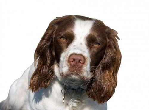 Dog English Springer Spaniel Springer Spaniel