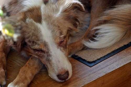 Dog Australian Shepherd Pet Sleeping Red Merle