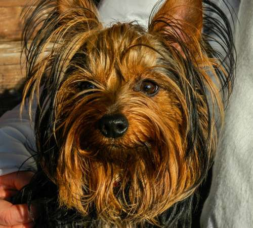 Dog Yorkshire Terrier Small Dog