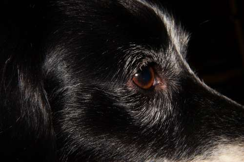 Dog Small Dog Portrait Eyes Close Up
