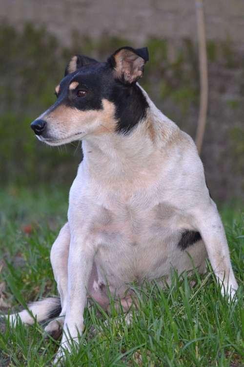 Dog Animal Animals Nature Jack Russel