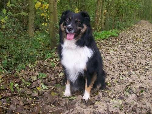 Dog Australian Shepherd Pet Shepherd