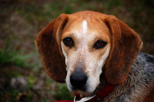 Dog Beagle Animal Brown Pet Dogs Leash Hound