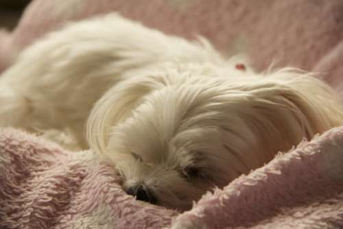 Dog Pet Animal Maltese Sleep White Sweet Picture