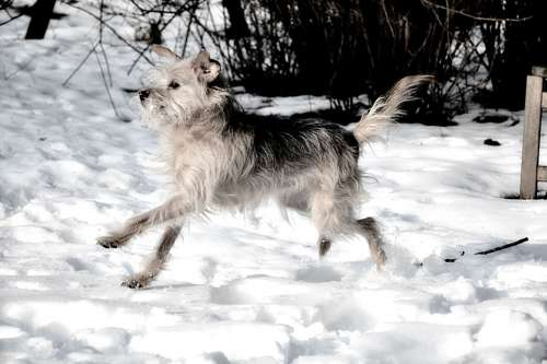 Dog Small Dog Awakened Curious Terrier Snow Run