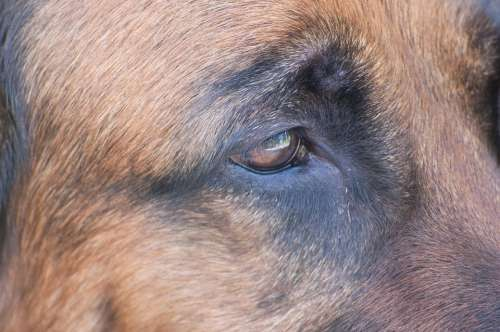 Dog Schäfer Dog Eye View Eyes Brown Eyes Pet