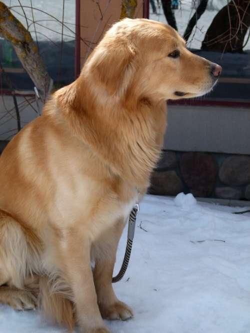 Dog Animal Pet Canine Faithful Waiting Watching