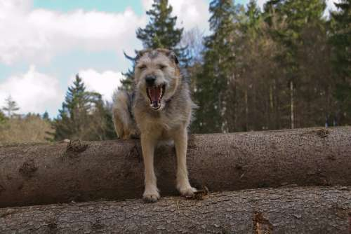 Dog Hybrid Snout Mammal Threatening