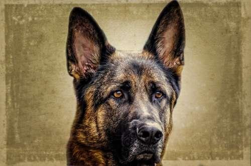Dog Face Animal German Alsatian Close-Up Monitor