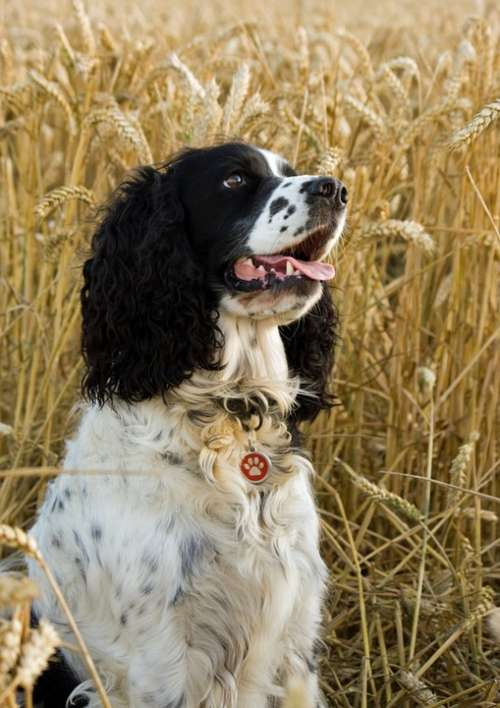 Dog Springer Spaniel English Springer Spaniel