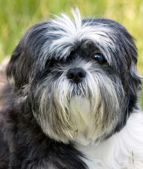 Dog Shih Tzu Portrait Close-Up Face Cute