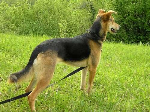 Dog Hybrid Pancho Schäfer Dog Pets Dogs