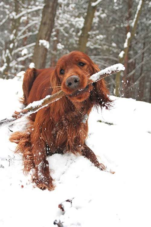 Dog Stick Winter Fun Spacer Setter Bites Forest
