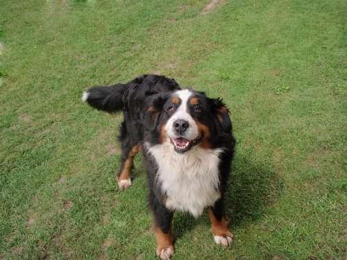 Dog Bernese Mountain Dog Mountain Dog Good Dear