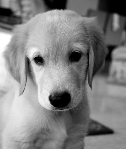 Dog Puppy Golden Retriever Adorable Purebred