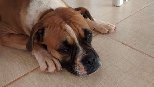 Dog Boxer Sad