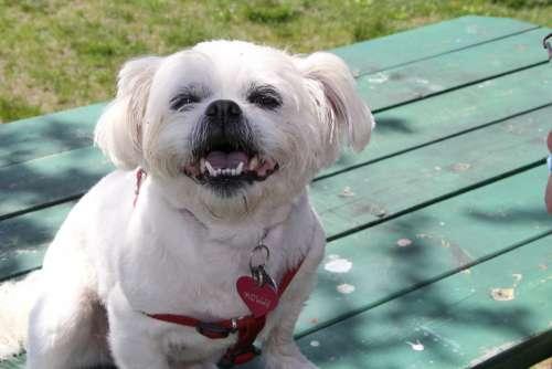 Dog White Cute Animal Portrait Domestic Animal