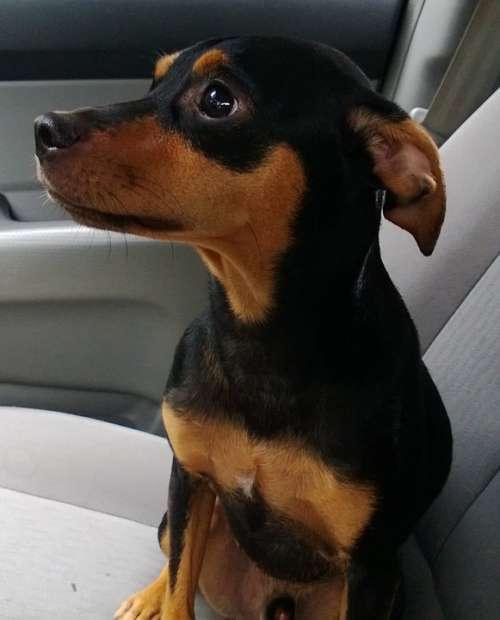 Dog Pinscher Animal Pet Canine Domestic Little