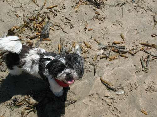 Dog Beach Sun Sand Animal Pet