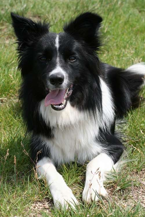 Dog Collie Border Collie Black And White